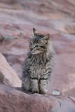 Jordan Petra tabby Cat Royalty Free Stock Images