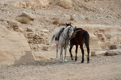 Jordan, Petra. White and brown horse on a background of stones a Royalty Free Stock Image