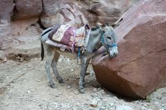 Jordan Travel, PETRA, asno, Burro imagem de stock royalty free