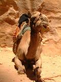 Jordan wielbłądów petra Obraz Royalty Free
