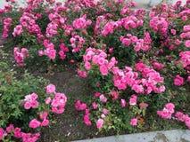 JORDANIAN FLOWERS PLANTS royalty free stock images