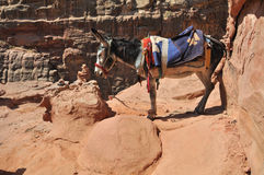 Jordanien Donkey at Petra. In the world are many places where you need another trasport than car - donkey. This is in archelogical site at Petra in Jordan Stock Photo