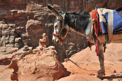 Jordanien Donkey at Petra. In the world are many places where you need another trasport than car - donkey. This is in archelogical site at Petra in Jordan Royalty Free Stock Photo