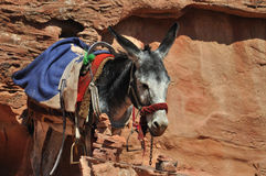 Jordanien Donkey at Petra. In the world are many places where you need another trasport than car - donkey. This is in archelogical site at Petra in Jordan Royalty Free Stock Photos