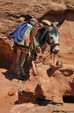 Jordanien Donkey at Petra. In the world are many places where you need another trasport than car - donkey. This is in archelogical site at Petra in Jordan Stock Images