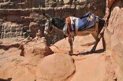 Jordanien Esel an PETRA Stockfoto