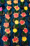 Jordbruk av den mini- kaktuns Royaltyfri Bild