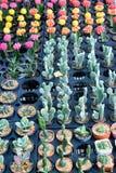 Jordbruk av den mini- kaktuns Arkivfoto