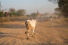 Jordbruk av Myanmar Arkivfoton