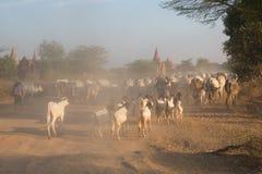 Jordbruk av Myanmar Arkivbilder