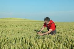 Jordbruk bonde undersöker vetefältet arkivfoton