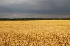 Jordbruk fält, öron av vete Royaltyfri Fotografi