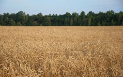 Jordbruk, lantbruk, sädesslag, fält av mognande veteöron eller ry royaltyfri fotografi