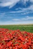 Jordbruk röd paprika i fält Royaltyfri Bild
