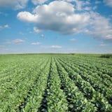Jordbruk sojabönaväxtfält Royaltyfri Foto