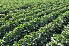 Jordbruk sojabönaväxtfält Arkivfoto