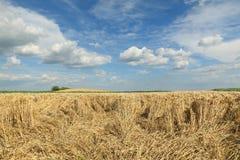 Jordbruk veteskörd, skadat fält Royaltyfria Foton