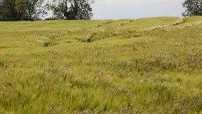 Jordbruk - vind - skörd av korn arkivfilmer