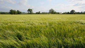 Jordbruk - vind - skörd av korn lager videofilmer
