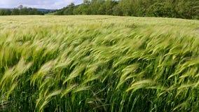 Jordbruk - vind - skörd av korn stock video