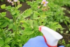 Jordbruks- arbete på behandlingen av gift från sprejen på de röda skadliga larverna av plågan för Colorado potatisskalbagge på arkivfoto