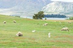 Jordbruks- begrepp - fårflock med mycket små unga får på ljus - grönt fält Arkivbilder