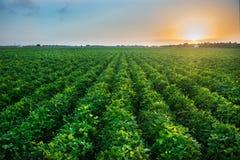 Jordbruks- branschlantgård som växer genetiskt ändrad mat på fält Arkivfoton