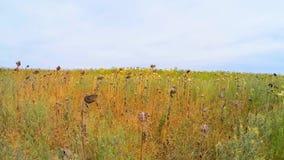 Jordbruks- fält av torra solrosor i gräs arkivfilmer