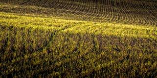 Jordbruks- fält med unga växter på grunt djup för morgon mycket av fältet Royaltyfria Foton