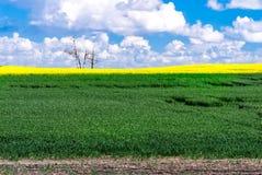 Jordbruks- fält - sädesslag och canola Royaltyfri Bild