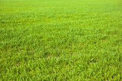 Jordbruks- gröna fält för vår av unga veteskördar gräsveteåkerbakterie arkivbild