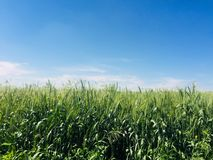 Jordbruks- grönt vetefält i solig dag arkivbild