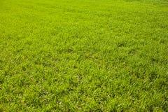 Jordbruks- gr?na f?lt f?r v?r av unga vetesk?rdar gr?svete?kerbakterie arkivbild