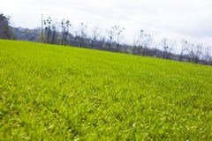 Jordbruks- gr?na f?lt f?r v?r av unga vetesk?rdar gr?svete?kerbakterie arkivbilder