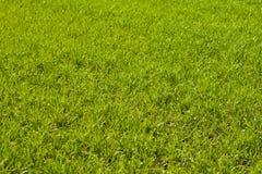 Jordbruks- gr?na f?lt f?r v?r av unga vetesk?rdar gr?svete?kerbakterie royaltyfria bilder