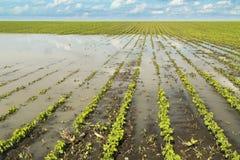 Jordbruks- katastrof, översvämmad sojaböna royaltyfri bild