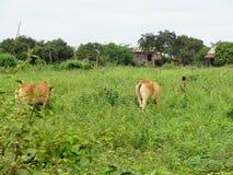 Jordbruks- landskap i Thailand Arkivfoto