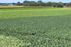 Jordbruks- landskap med kål- och havrefältet Royaltyfria Foton