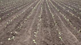 Jordbruks- lantgård för odlingkål unga groddar har uppstiget på ett enormt fält stock video