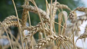 Jordbruks- lantligt moget vetefält arkivfilmer
