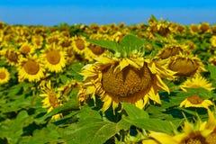 jordbruks- liggande Fält av härliga mogna solrosor Arkivbilder