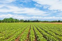 jordbruks- liggande Fält av sojabönor royaltyfri bild