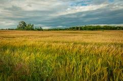 jordbruks- liggandesommar ett härligt rågfält i Juli under en molnig himmel Arkivfoto