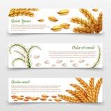 Jordbruks- sädesslagbanermall Realistiska korn och öron av ris, vete, korn som isoleras på vit bakgrund royaltyfri illustrationer