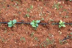 Jordbruks- växter i rader arkivfoto
