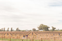Jordbruksarbetare som bygger spaljéer för en ny vingård på Kanoneila Arkivfoto