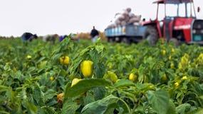 Jordbruksarbetare som skördar gul spansk peppar Arkivbilder