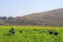 Jordbruksarbetare som skördar sommarskördar Royaltyfria Bilder