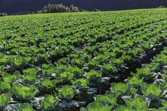 jordbruksmark av kål Arkivbild