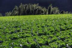 jordbruksmark av kål Royaltyfri Fotografi